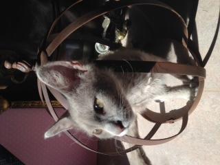 Vår blivande avelshane hemma kallad Lille Nille när han kikar ut från sin pälsprins-krona!