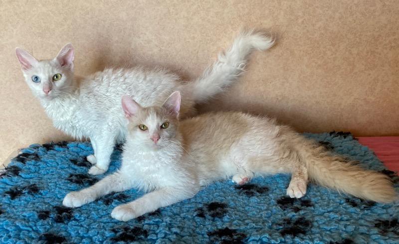 Blivande föräldrar; mamma S*divineCURLYcats bBeatrice och pappa SE*Mirror BC Xam (längst fram).