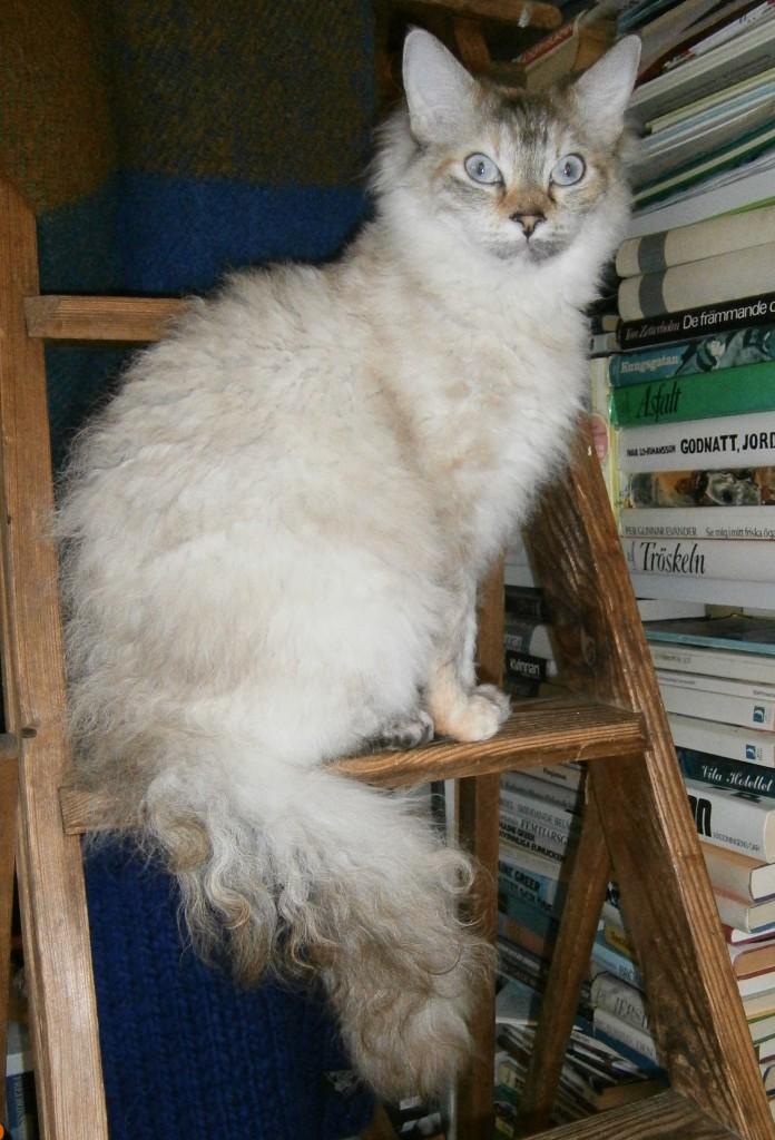 ...väntar kattungar i vecka 46 om allt går som det skall. Så spännande att se kattungar efter henne och Glastocats Jesse Pinkman - vår importhane från England!
