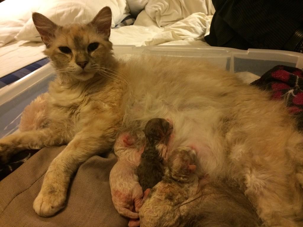 Mys första kull som hon bar födde och sköter perfekt. Vår Englandsimport Glastocats Jesse Pinkman är pappan.