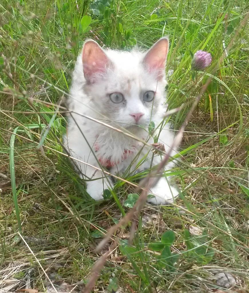 Och så här förvånad var S*divineCURLYcats TING-E-LING kallad Elsa första gången hon var på landet - va, inget golv under tassarna utan gräs och stora humlor som flyger!