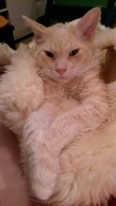 och han är den mest självsäkre hane jag har känt! Han är också påhittig och olydig - vi har till exempel sett honom leda ett inbrott i skafferiet då han lärde lilla Elsa hur man tar för sej av godis utan att blanda in matte! Han är också kelig som en liten kattunge och vill ligga länge i famnen och bli kliad på magen. Tack för denna fina kille Susanne!