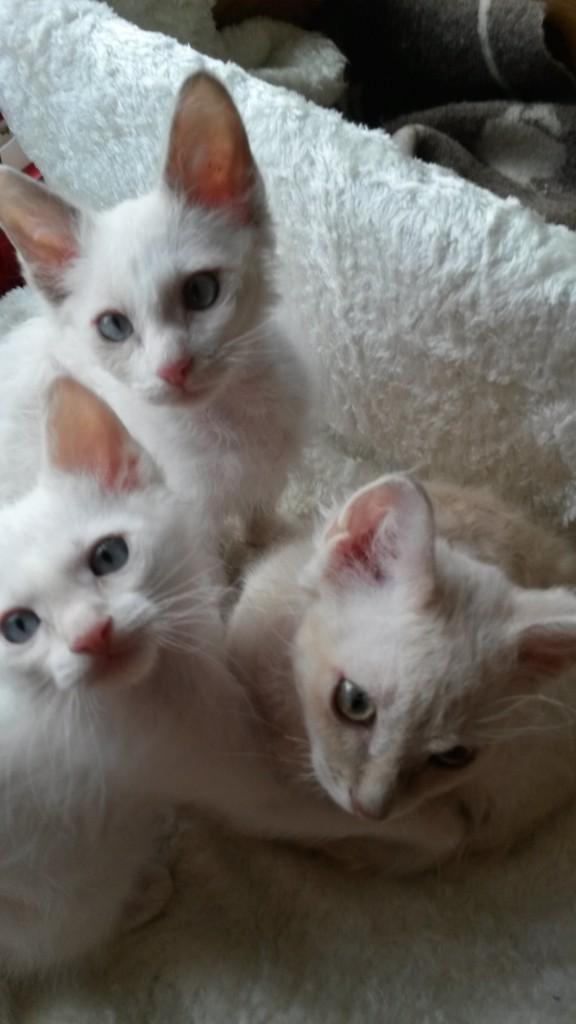 Detta är vår sista kull innan sommaruppehållet så passa på att besöka oss nu om ni överväger en la perm-katt!