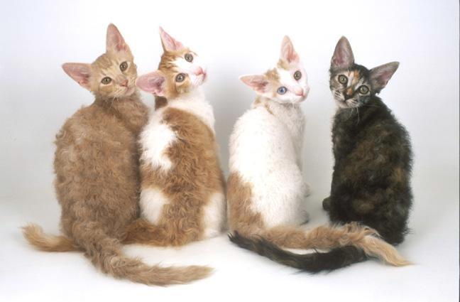 Här syns några av Anthony Nicholas katter. Det var Anthony som först tog la permen till Europa.