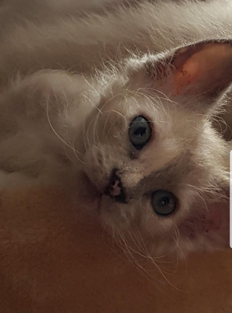 Lilla Önska med vackert blå ögon och härlig pälsfärg!