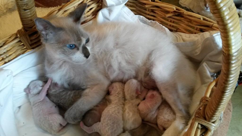 Här syns Birgitta /S*divineCURLYcats Quelle Affaire/ trött men nöjd efter nedkomsten!