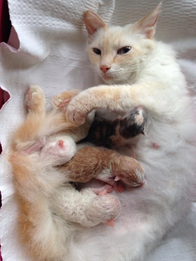 Vår ljuvliga F-kull född 190108 hos nöjda nyblivna mamma S*divineCURLYcats Åsa hemma kallad Carin.