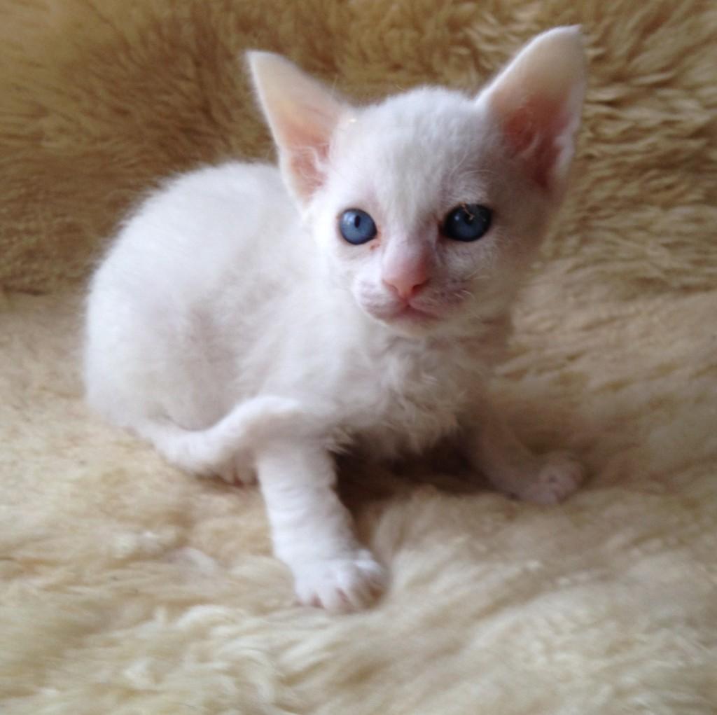 Kitty Hello är helt vit som en Hello Kitty ska vara!