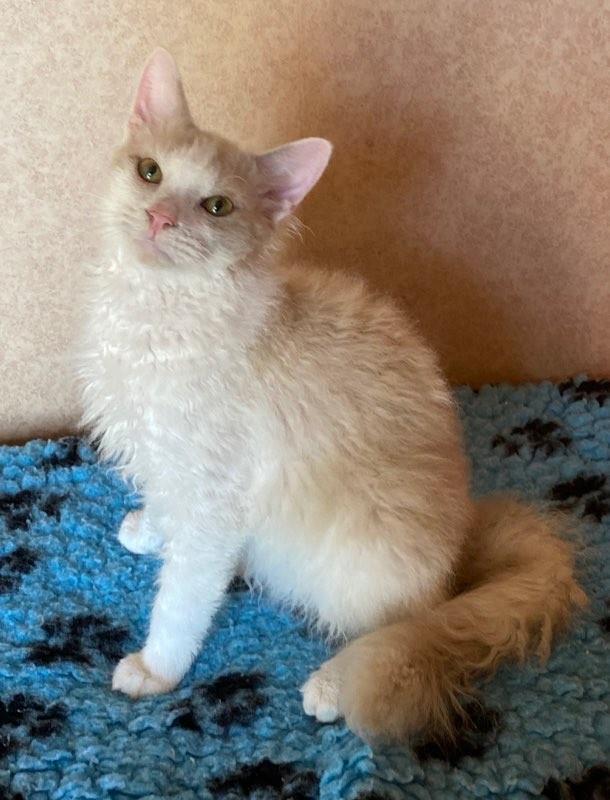 Vår vackre lånekille Xam har börjat uppskatta sina tre katt-flickor här hemma nu! Vi har fått låna SE*'Mirror BC av Nyponrosens katteri tack för det Susanne!!